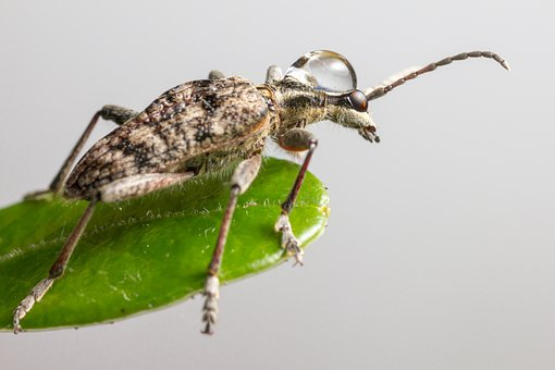 Black-spotted Longhorn Beetle, Beetle, Insect, Pest