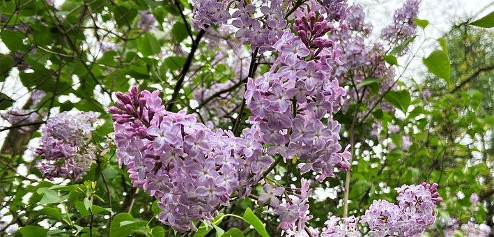 Bush, Lilacs, Purple, Flowers, Purple Flowers, Petals