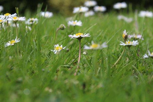 Daisies, Flowers, Meadow, Field, Spring, Nature, Bloom