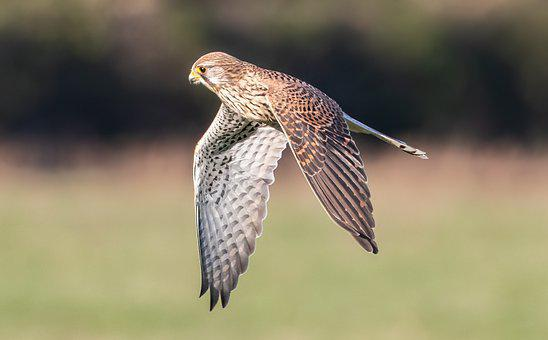 Kestrel, Hunting, Flying, Raptor, Nature, Bird