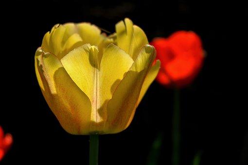 Flower, Tulip, Yellow, Petals, Bloom, Blossom, Flora
