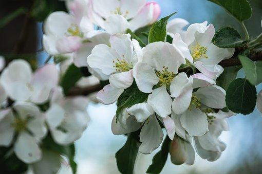 Apple Blossom, Flowers, Branch, Petals, White Flowers