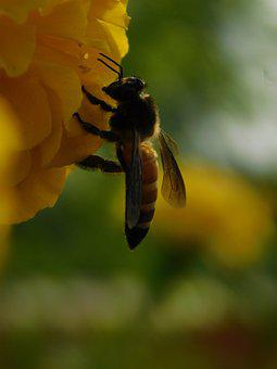 Honey Bee, Insect, Flower, Bee, Pollination, Plant