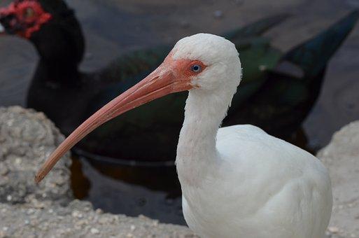 Bird, White Bird, Long Beak, Beak, Feathers, Plumage