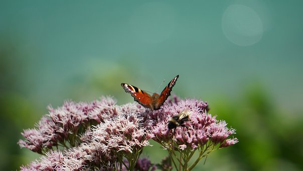 Butterfly, Flowers, Pollinate, Pollination