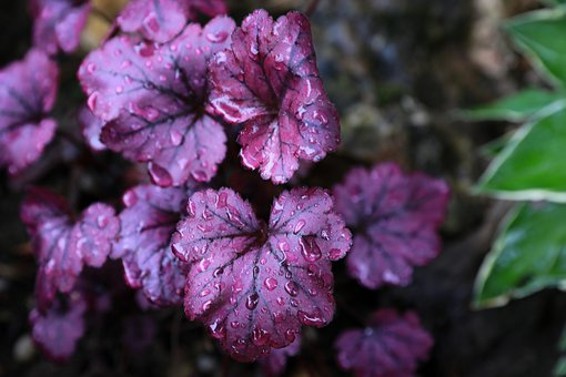 Purple, Leaves, Foliage, Wet, Water Droplets, Raindrops