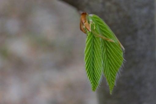 Ash, Leaves, Branch, Spring, Foliage, Bush, Plant, Tree