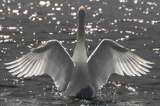 Swan, Water Bird, Bird, Plumage, Wings, White Swan