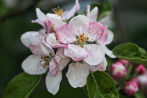 Apple Blossoms, Flowers, Dew, Dewdrops, Water Droplets