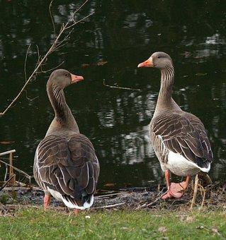 Geese, Birds, Pair, Waterfowls, Water Birds, Feathers