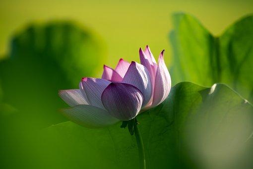 Lotus Flower, Welcome Summer, May Flower Season