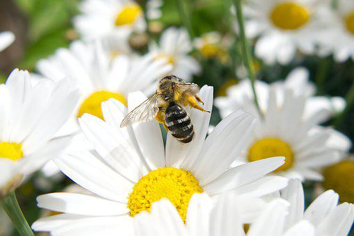 Bee, Flowers, Daisies, White Flowers, White Daisies