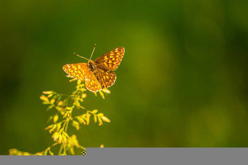 Butterfly, Wings, Insect, Lepidoptera, Winged Insect