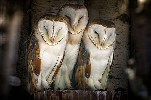 Owls, Barn Owls, Asleep, Birds, Animals, Animal World