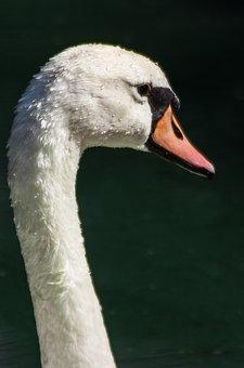 Swan, Mute Swan, Neck, Beak, White Swan, Head