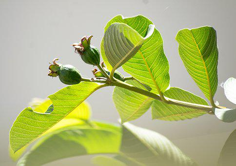 Guava, Fruit, Unripe, Leaves, Tree, Branch, Growth