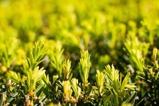 Conifers, Plant, Coniferous Shrub, Taxus Baccata