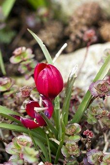 Tulip, Dwarf Tulip, Flower, Petals, Plant, Sedum