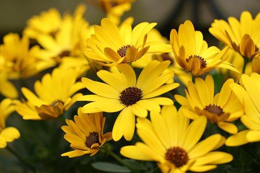 Flowers, Petals, Ornamental Plants, Osteospermum