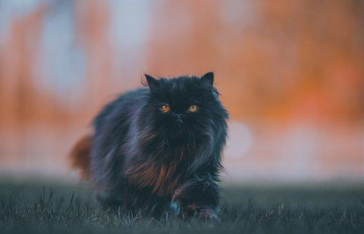 Persian, Cat, Feline, Fluffy, Furry, Fur, Black Cat