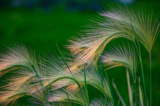 Grass, Leaves, Cereals, Plants, Garden, Green
