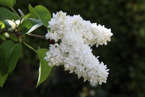Lilacs, White Lilacs, Inflorescence, White Flowers