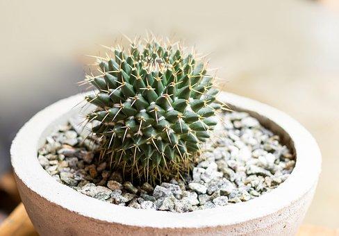 Cactus, Pot, Succulent, Plant, Home, Nature, Green