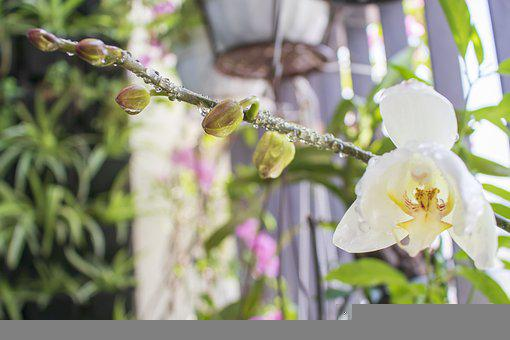 Orchids, Buds, Water Droplets, Dewdrops, Raindrops, Wet