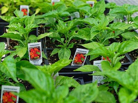 Pepper, Plant, Chilli, Vegetables, Fresh, Healthy