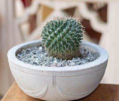 Cactus, Pot, Succulent, Plant, Nature, Green, Garden
