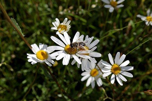 Bee, White Daisies, Pollinate, Pollination