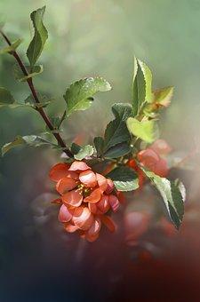 Flowers, Petals, Bush, Foliage, Sprig, Quince, Spring