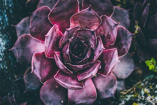 Blood Turmeric, Medicinal Plant, Plant, Stone Garden