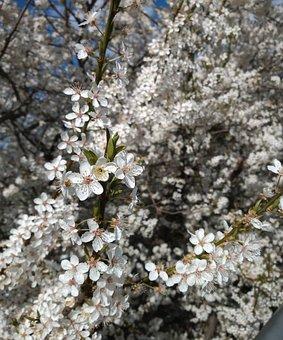 Flowers, Petals, Tree, Flora, Botany, Flourishing