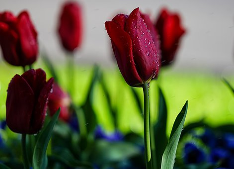 Tulips, Red Tulips, Wet, Water Droplets, Raindrops