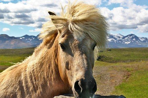 Iceland Horse, Horse, Pony, Iceland, Head, Animal
