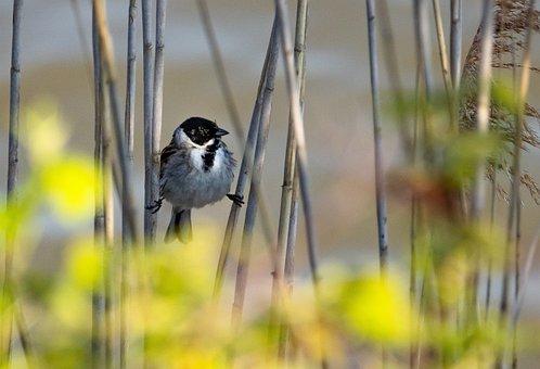Reed Bunting, Bird, Plant, Animal, Wildlife, Songbird