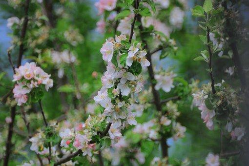 Apple Blossom, Blossom, Bloom, Tree, Flowers, Spring