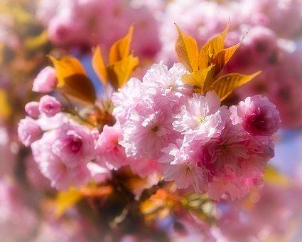 Cherry Blossoms, Spring, Sakura, Pink, Bloom, Blossom