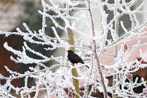Tree, Bird, Blackbird, Winter, Frost, Cold, Wintry