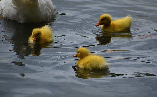 Ducklings, Birds, Newborn, Furry, Fauna, Cute, Ducks