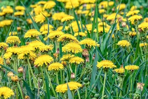Flowers, Dandelions, Yellow Flowers, Spring, Meadow