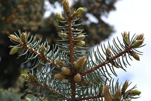 Forest, Spruce, Nature, Coniferous, Evergreen, Pine