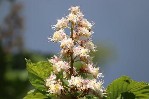 Chestnut, Flowers, Tree, Plant, Buckeye, Deciduous Tree