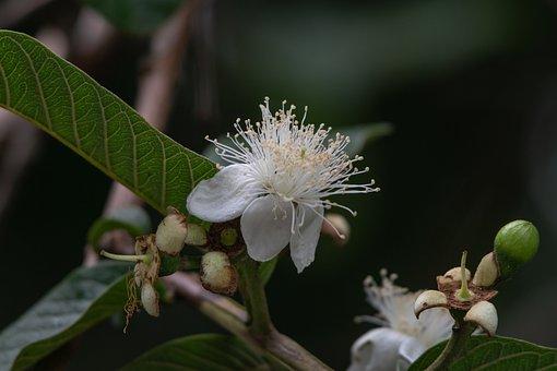 Flower, Guava, Plant, Fruit, Tree, Tropical, Petals