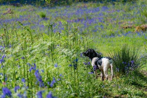 Dog, Canine, Spaniel, Grass, Forest, Woods, Bluebells
