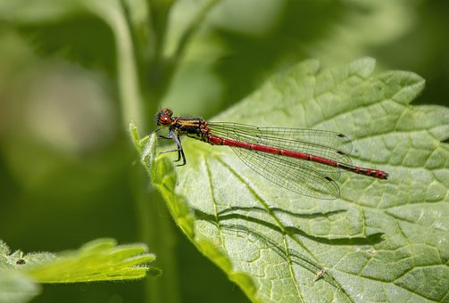Red Damselfly, Wings, Eyes, Insect, Summer, Bright