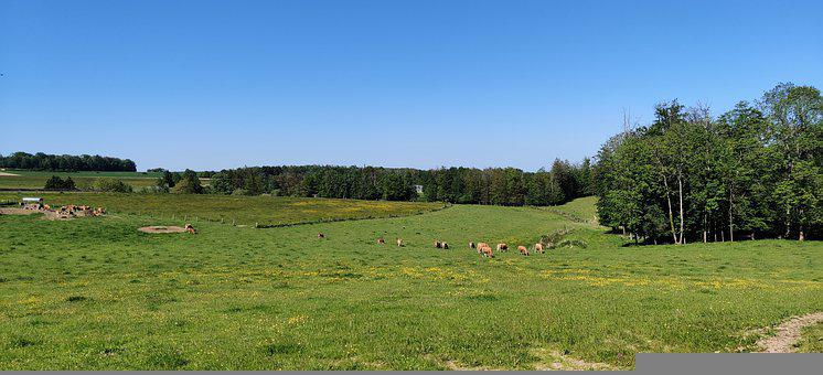 Cows, Pastures, Panorama, Grazing, Cattle, Livestock