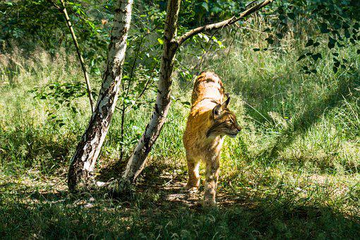 Lynx, Animal, Forest, Meadow, Birch, Wildlife, Mammal