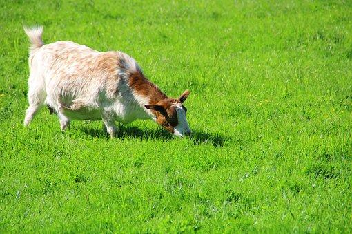 Goat, Graze, Nature, Animal, Farm, Meadow, Mammal, Kid